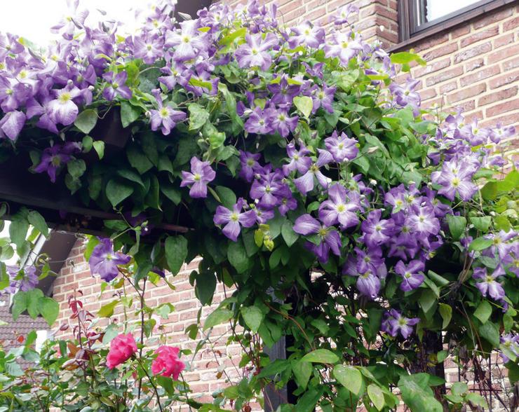 Популярные вьющиеся растения