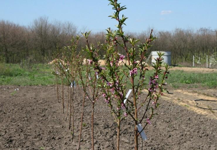 Абрикосовые саженцы можно высаживать ранней весной или ранней осенью