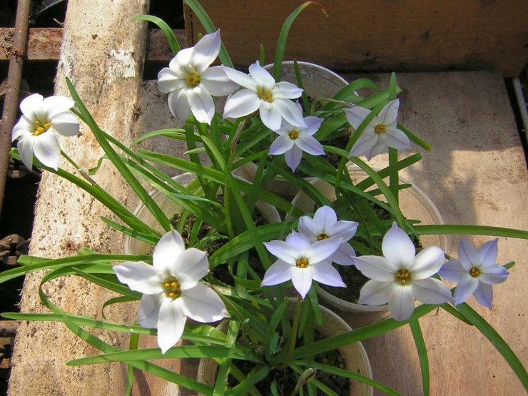 Наиболее распространенные способы размножения ифейона – семенами и делением луковиц