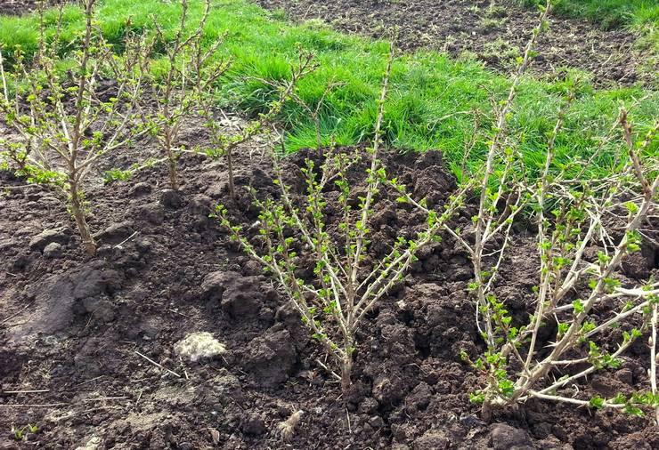Правила подготовки почвы и процесс посадки