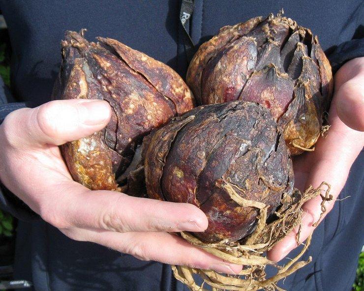 В какое время выкапывать луковицы лилии?
