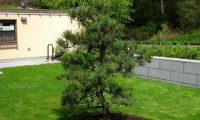 Посадка сосны. Как посадить сосну на участке, летом или осенью