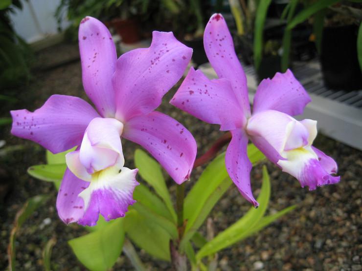 Орхидея каттлея – уход в домашних условиях. Выращивание каттлеи, пересадка и размножение. Описание, виды. Фото