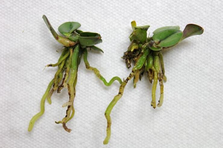 Размножение орхидеи каттлея