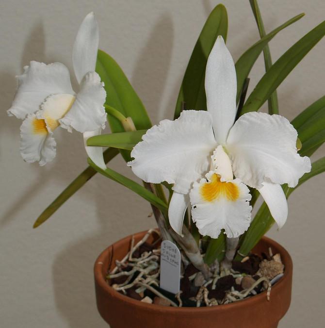 Частота и объемы поливов зависят от сезона и периода роста орхидеи