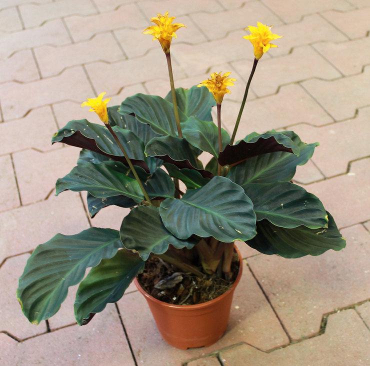 Цветущему растению особенно необходимы комплексные подкормки