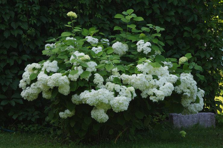 Гортензия древовидная – посадка и уход в открытом грунте. Выращивание цветка гортензии, способы размножения. Описание. Фото