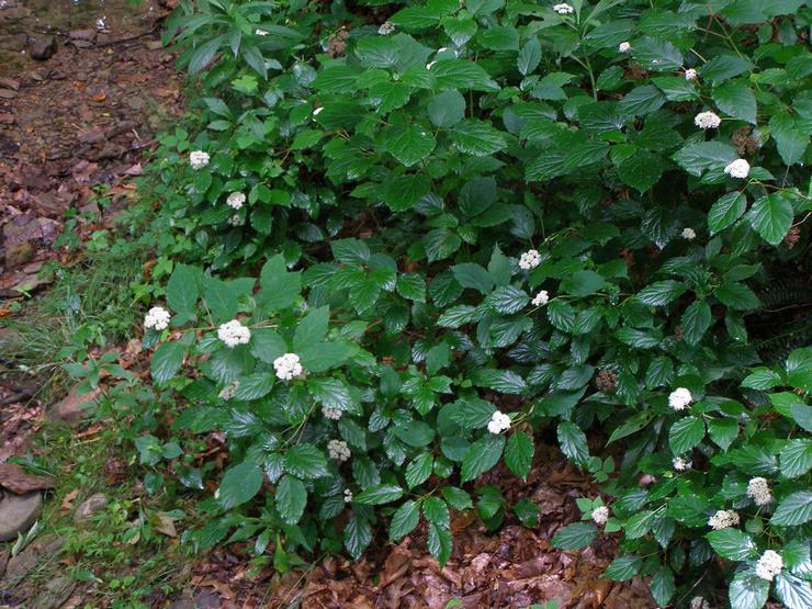 Гортензия древовидная – влаголюбивое растение, название которого дословно переводится как «сосуд с водой»