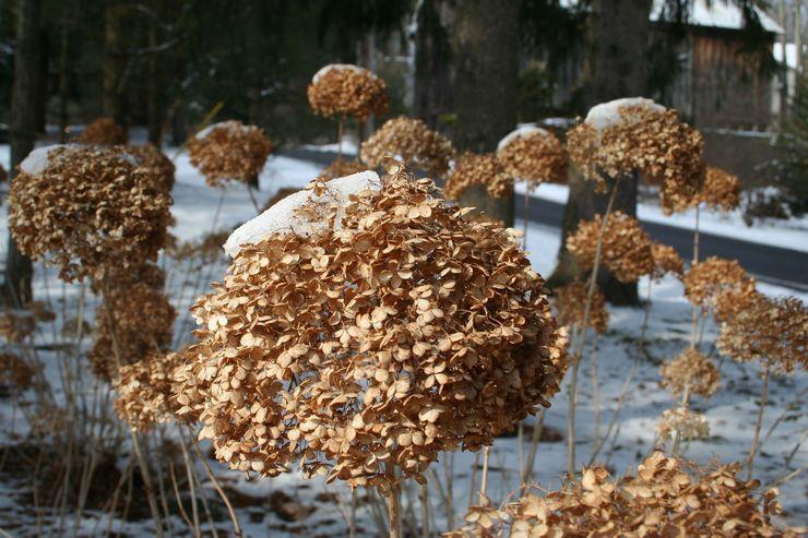 Зимовка гортензии древовидной