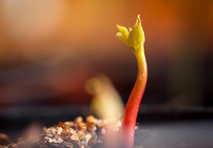 Выращивание каштана из семян