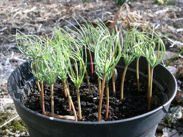 Выращивание кедра из семян