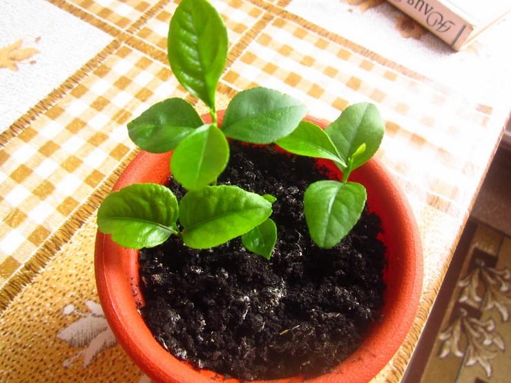 Опытные садоводы рекомендуют использовать комплексные удобрения, в которых имеются все необходимые для лимона питательные элементы