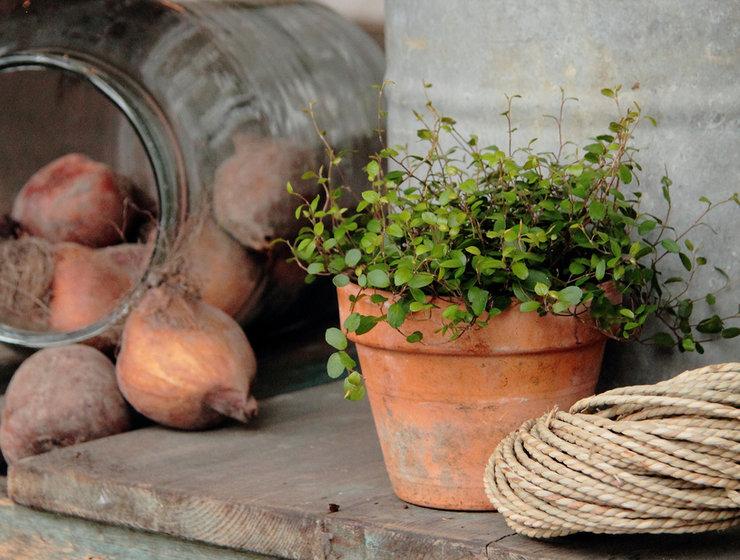 Мюленбекия – уход в домашних условиях. Выращивание мюленбекии, пересадка и размножение. Описание. Фото
