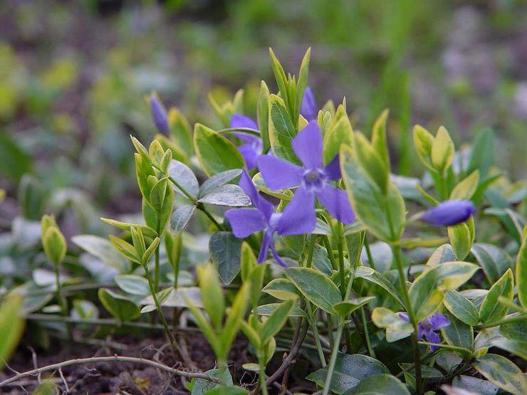 Самые интересные вечнозелёные растения для сада. Фото, описание
