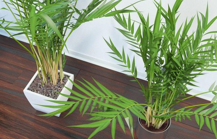 Удобрения, предназначенные для комнатных цветов или для пальм, рекомендуется вносить на протяжении всего года