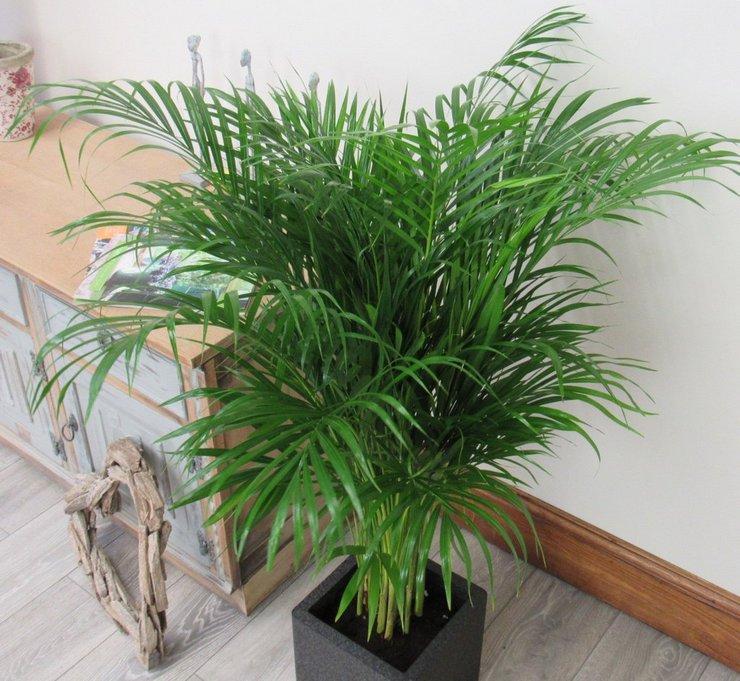 Так как родиной пальмы ареки являются влажные леса, то и уровень влажности в помещении должен быть всегда повышенным