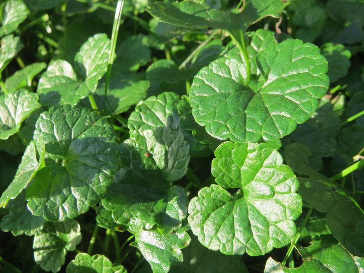 Формирующую обрезку будры рекомендуется проводить до начала активного роста растения