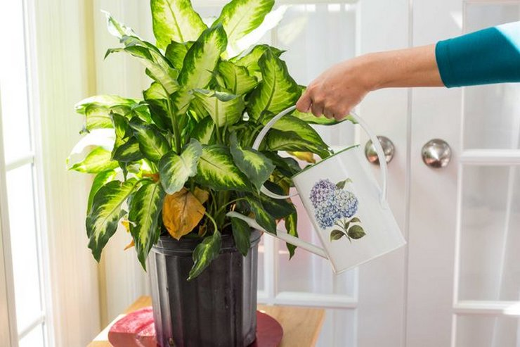 Состояние и окраска листовой массы диффенбахии зависит от объемов и частоты поливов