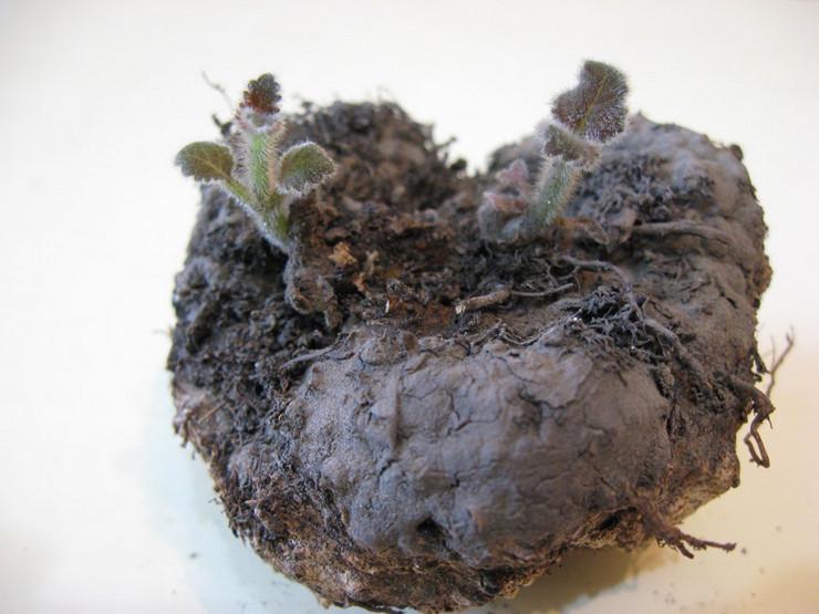 После подготовки цветочной емкости и почвенной смеси можно заняться подготовкой клубней