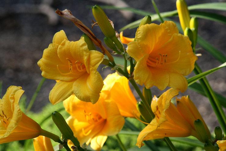 Лилейник – посадка и уход в открытом грунте. Выращивание лилейников, способы размножения. Описание. Фото