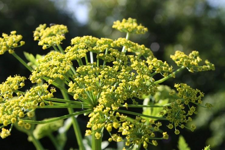 Любисток – посадка и уход в открытом грунте. Выращивание любистка из семян. Описание, лечебные свойства. Фото