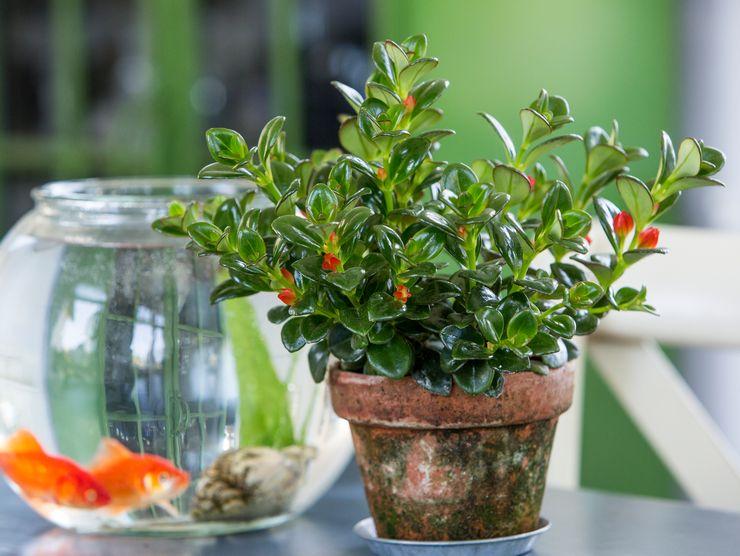 Растение нематантус