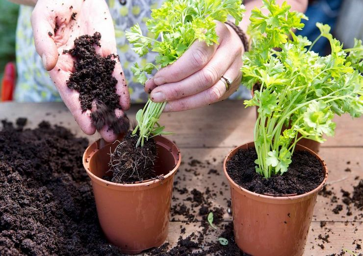 Выращивание петрушки из корнеплода