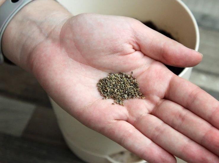 Выращивание петрушки из семян