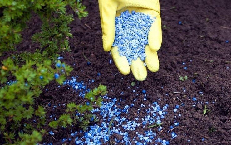 Удобрения для хвойных растений. Как правильно подкормить хвойные