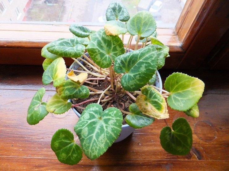 Правильный режим полива для цикламена, как и для других клубневых растений, имеет большое значение.