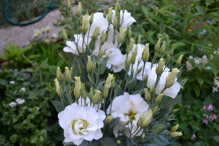 Как вырастить эустому в саду