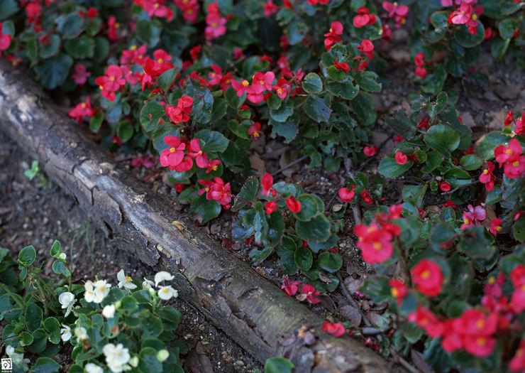 Основные правила ухода за садовой бегонией