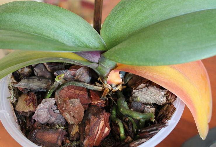 Почему желтеют листья у орхидеи фаленопсис. В чём причина и что делать?