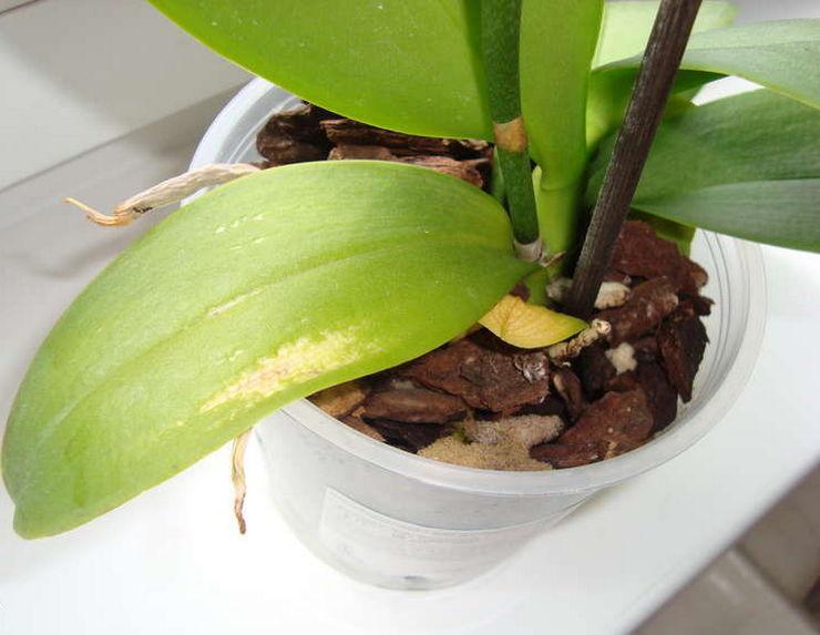 Самой распространенной ошибкой цветовода, которая приводит к пожелтению листьев орхидеи, считают обильный полив цветка
