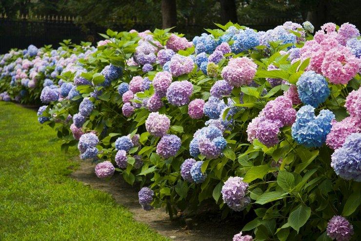 Цветок гортензия – характеристика и описание