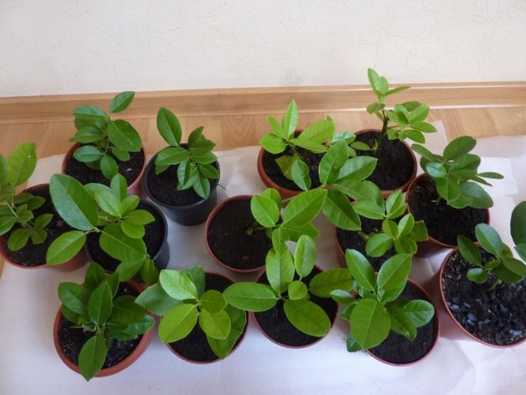 Размножение комнатных цитрусовых