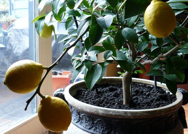 Уход за цитрусовыми растениями в квартире