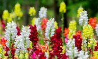 Цветок львиный зев – посадка и уход в открытом грунте. Выращивание львиного зева из семян, способы размножения. Описание, виды. Фото