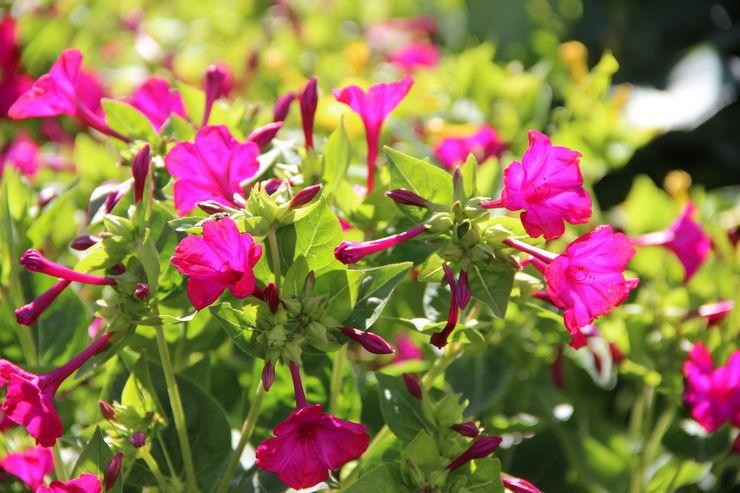 Растение мирабилис