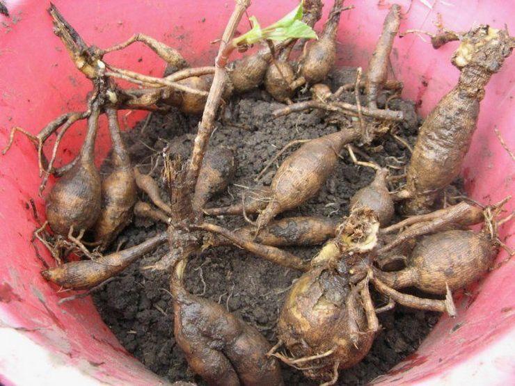 Распространенным способом посадки является размножение мирабилиса с помощью клубней