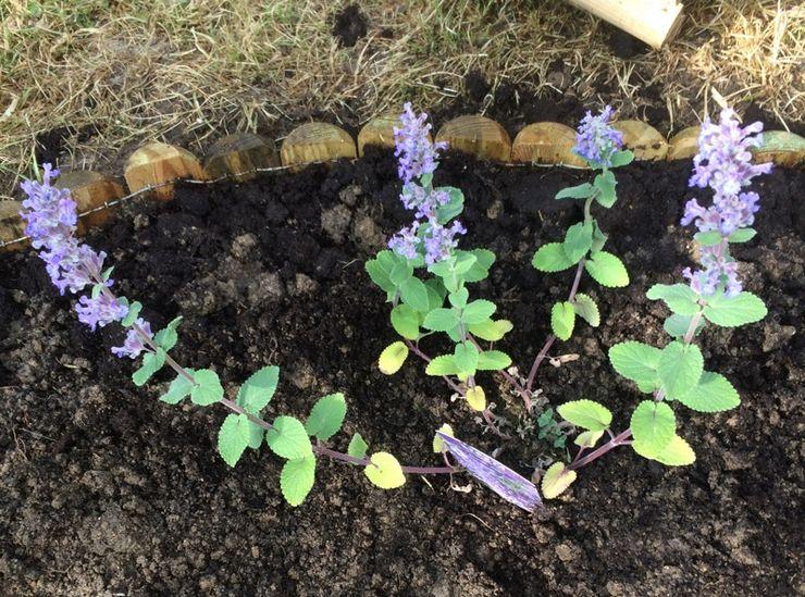 Посев семян котовника в грунт