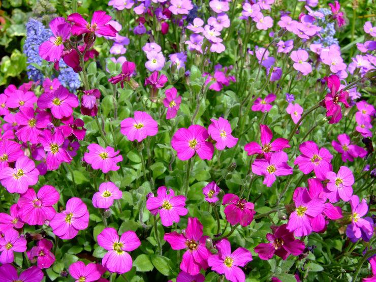 Обриета многолетняя посадка и уход фото — Мир цветоводства