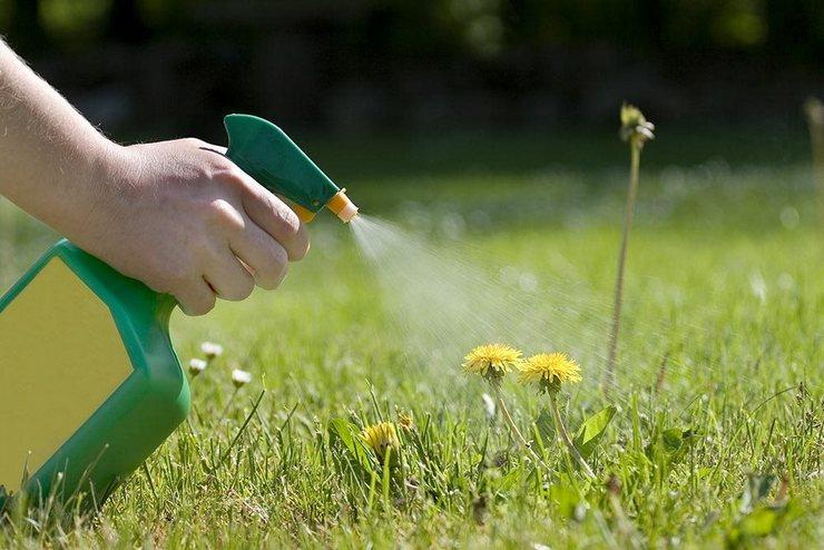 Как избавиться от одуванчиков в саду. Борьба с одуванчиками