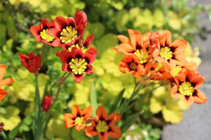 Цветок cпараксис – посадка и уход в открытом грунте. Выращивание cпараксиса из семян, способы размножения. Описание. Фото