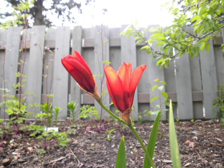 Выращивание спараксиса из семян