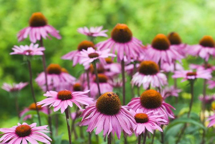 Цветок эхинацея – посадка и уход в открытом грунте. Выращивание эхинацеи из семян, способы размножения. Описание, виды. Фото