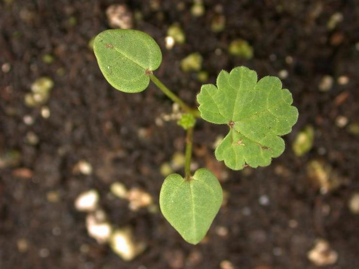 Выращивание мальвы из семян
