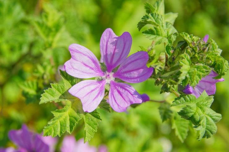 Цветок мальва – посадка и уход в открытом грунте. Выращивание мальвы из семян, способы размножения. Описание, виды. Фото