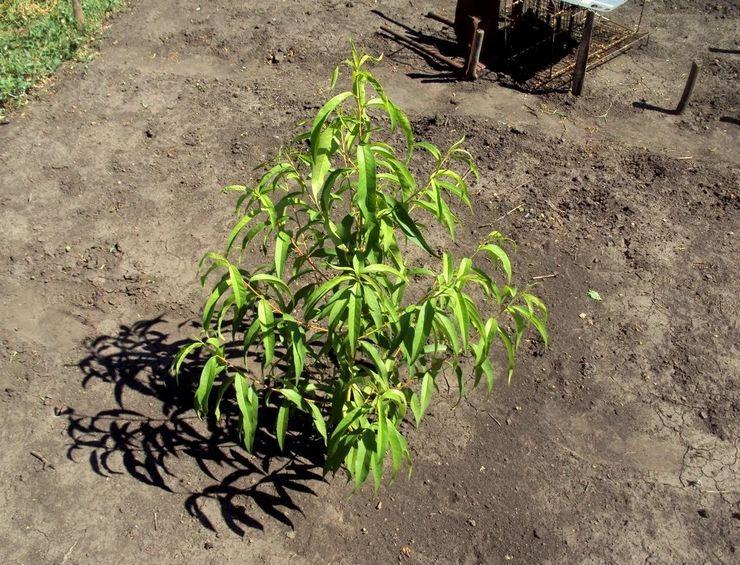 Посев семян персика в открытый грунт