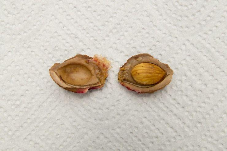 Подготовка косточек персика к посеву